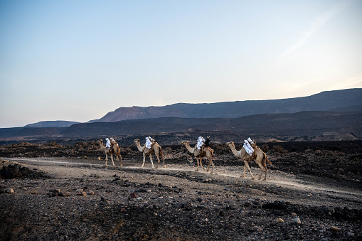 Africa, Djibouti, Lake Assal. A traditional camel caravan is leaving lake Assal fully loaded with salt