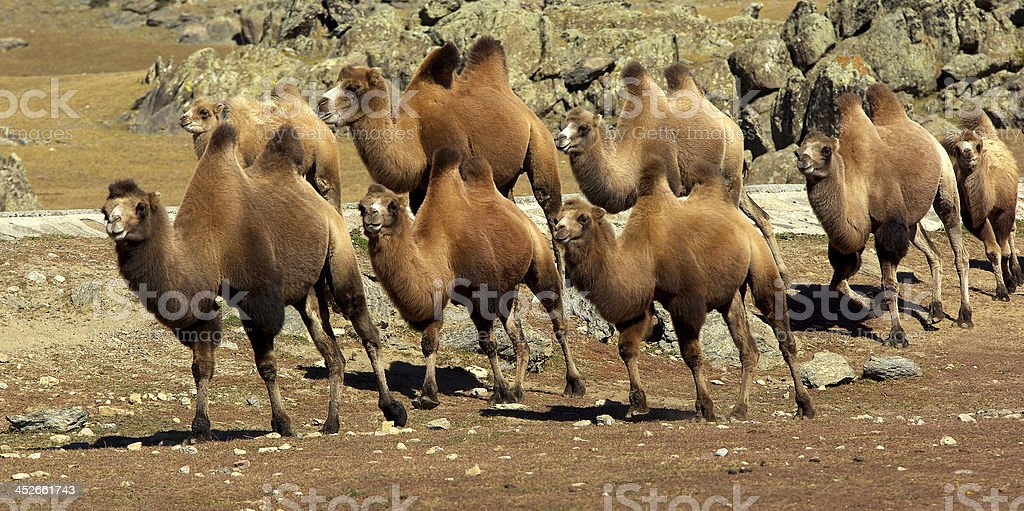 Camel caravan on the Meadow stock photo
