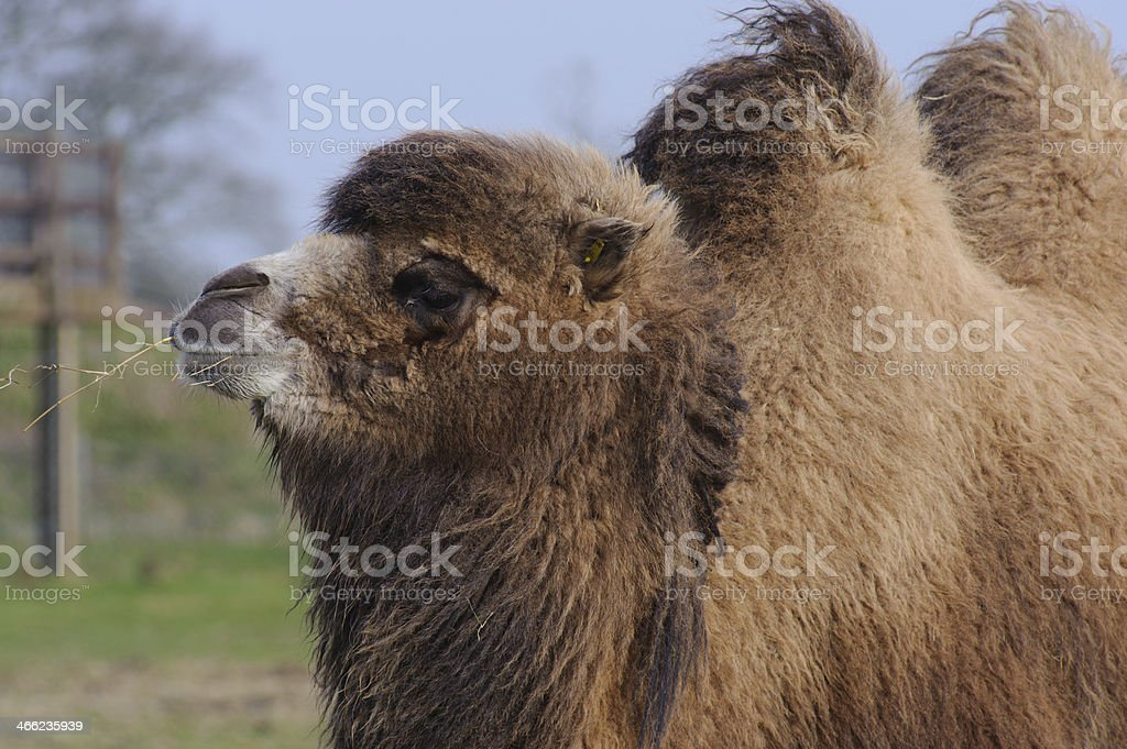Camel chewing grass royalty-free stock photo