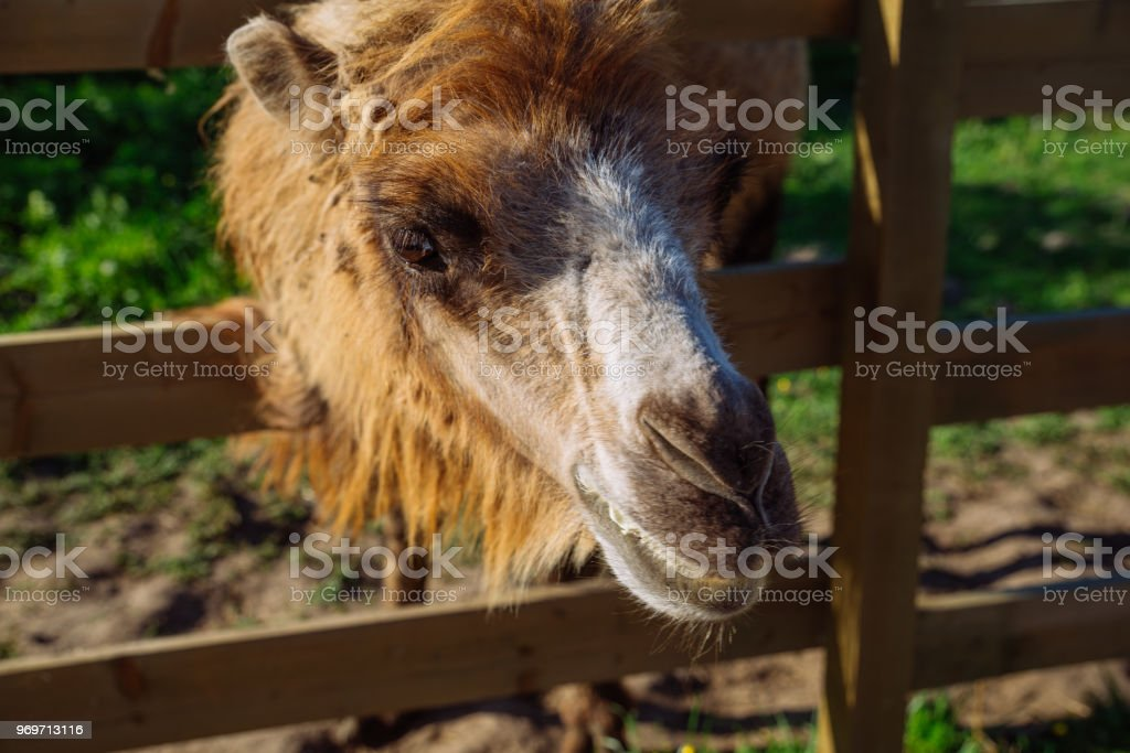 Camel Close Up In Zoo Sunny Summer Day Royalty Free Stock Photo