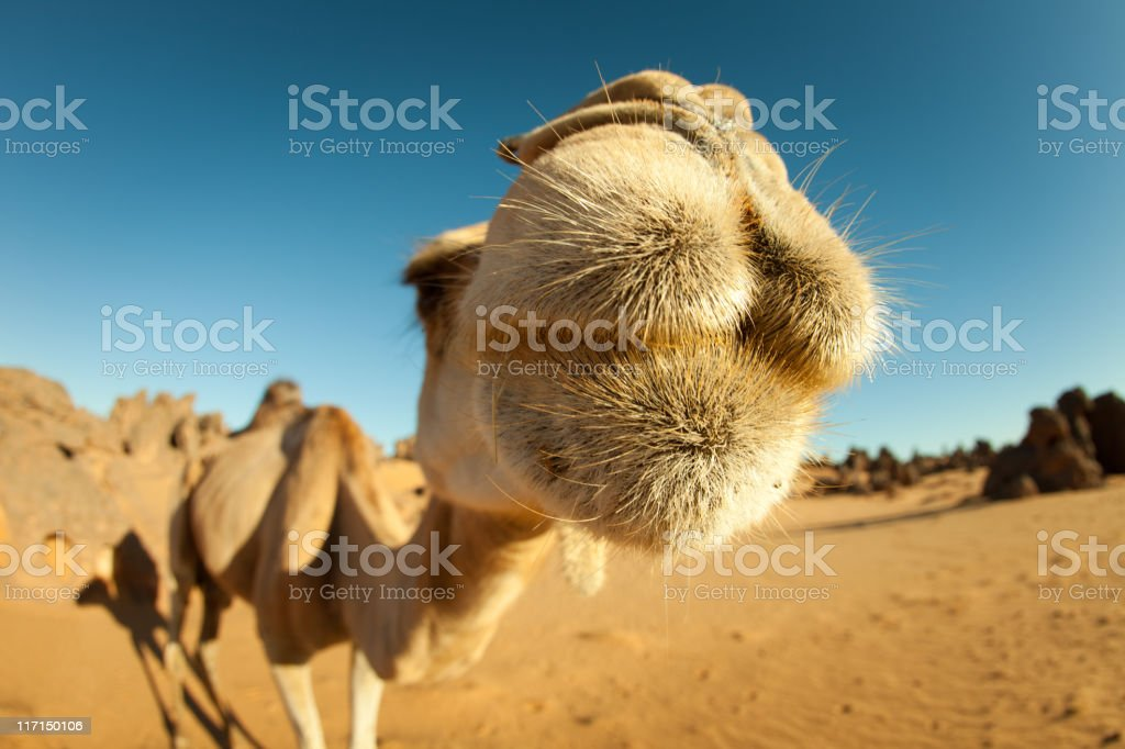 Camel close-up in Libyan Sahara desert royalty-free stock photo