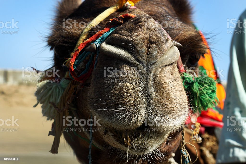 Camel Close-Up stock photo