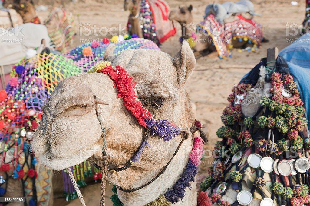 Camel decorated for sale Pushkar Rajasthan India stock photo