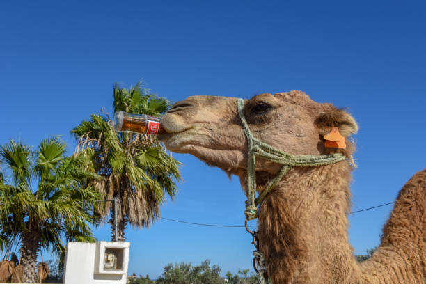Camel drinking a coke at Sousse in Tunisia stock photo
