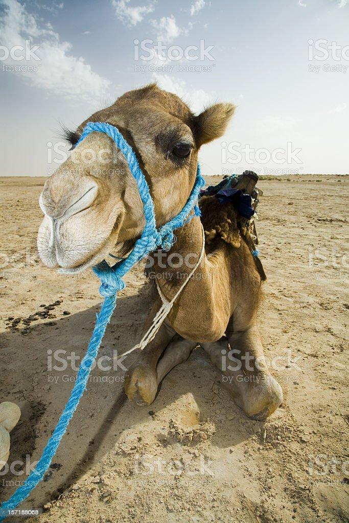 camel dromedary royalty-free stock photo