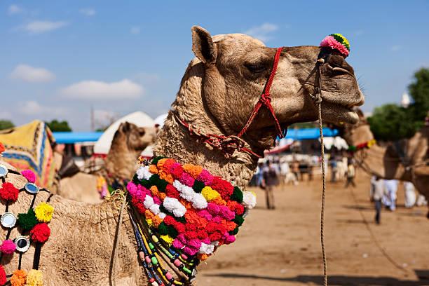 Camel during festival in Pushkar stock photo