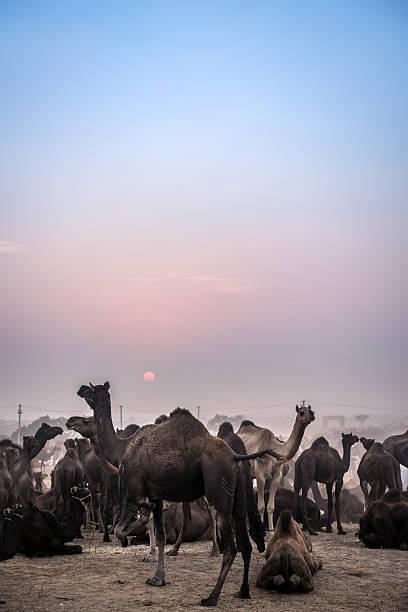 Camel during sundown at the Pushkar Fair in Rajasthan, India stock photo