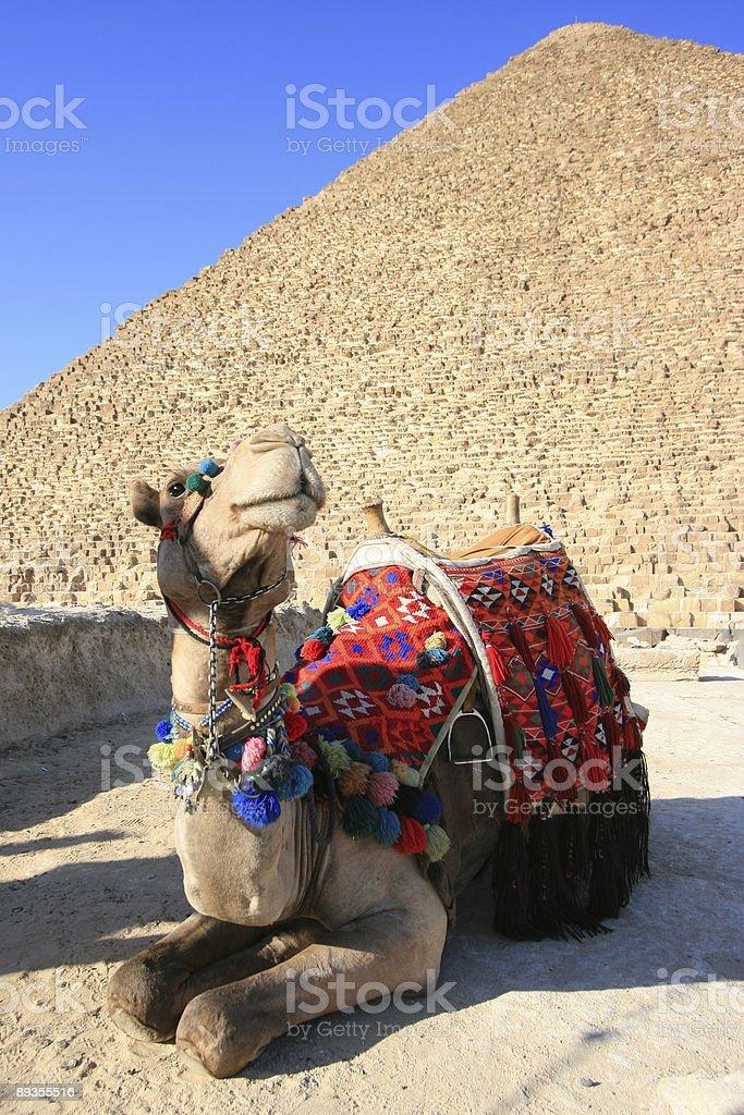 Cammello. Egitto. foto stock royalty-free
