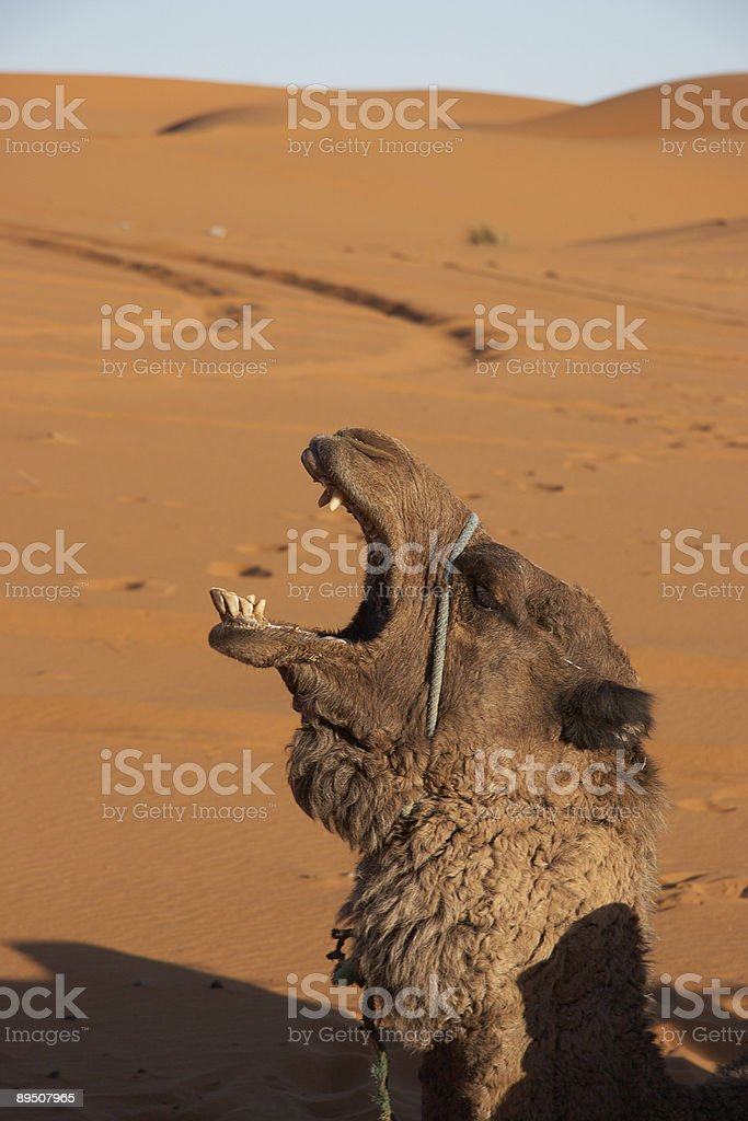 Camel emotion royalty-free stock photo