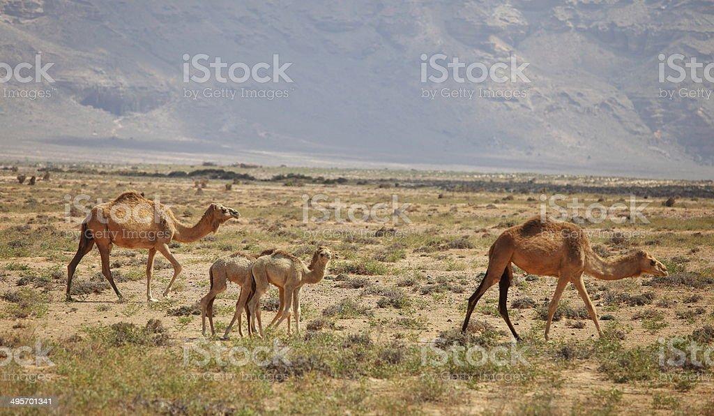 Camel family royalty-free stock photo