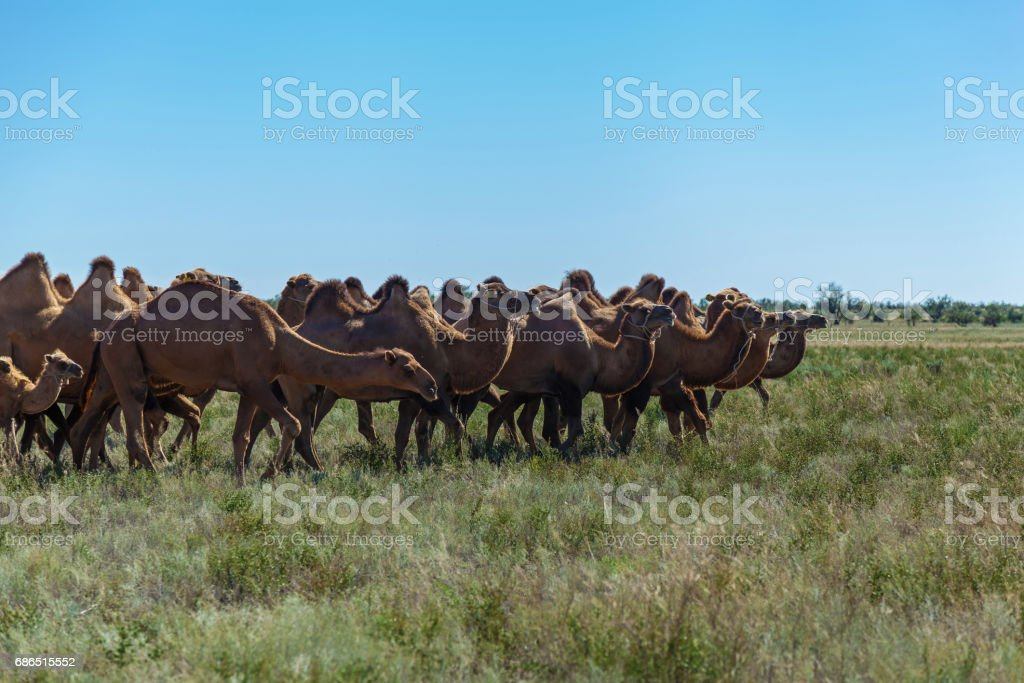 Camel farm is in Kazakhstan royalty free stockfoto