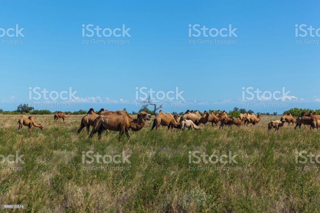 Camel farm is in Kazakhstan royaltyfri bildbanksbilder