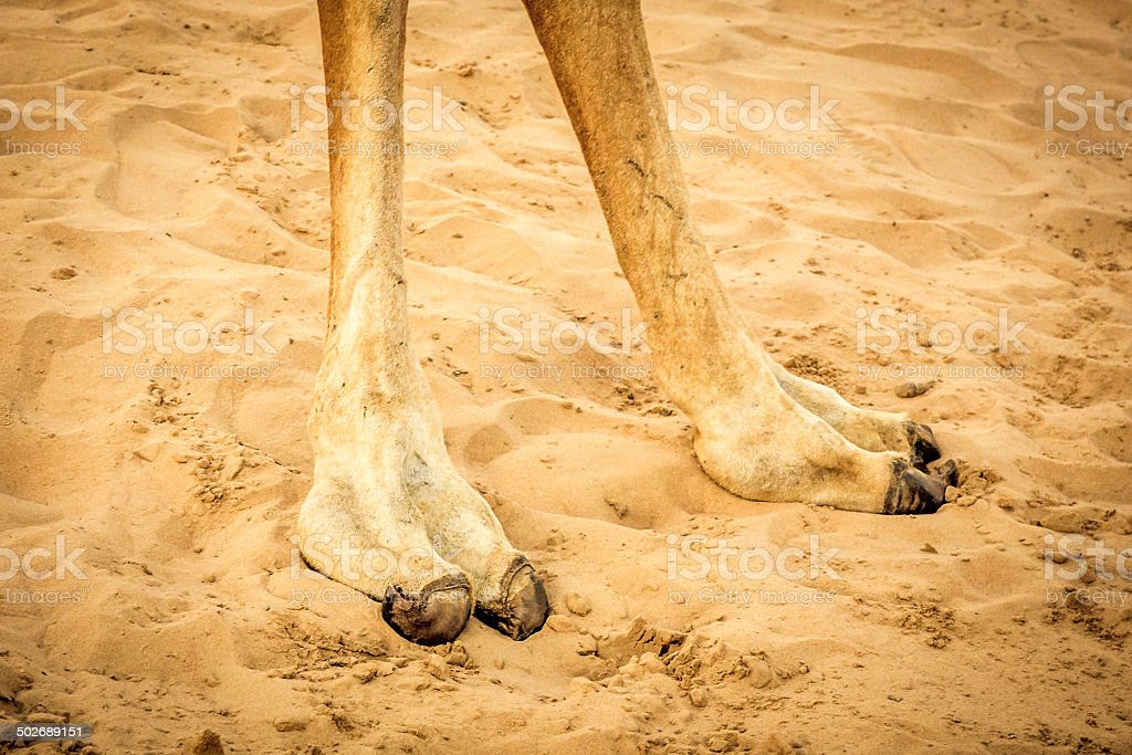 Camel feet in the sand stock photo