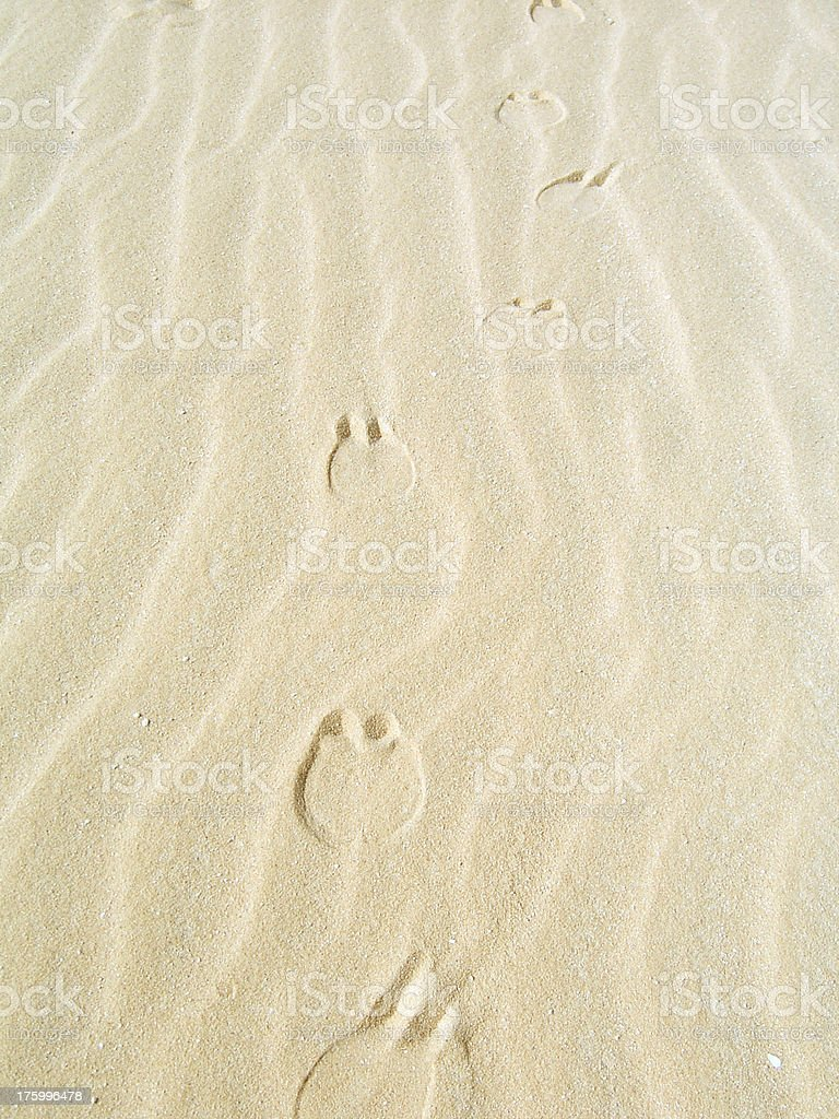 Camel Footprints in the Desert royalty-free stock photo