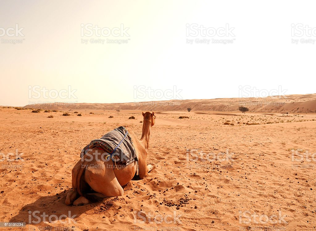 Camel from the back in Wahiba desert, Oman stock photo