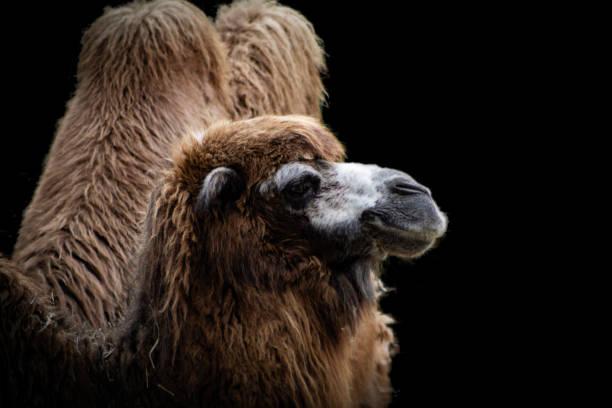 Kamel von der Seite – Foto