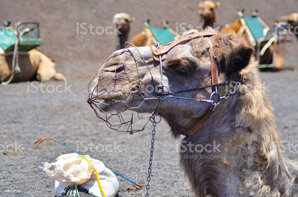 Camel head close-up in Lanzarote, Canaries stock photo