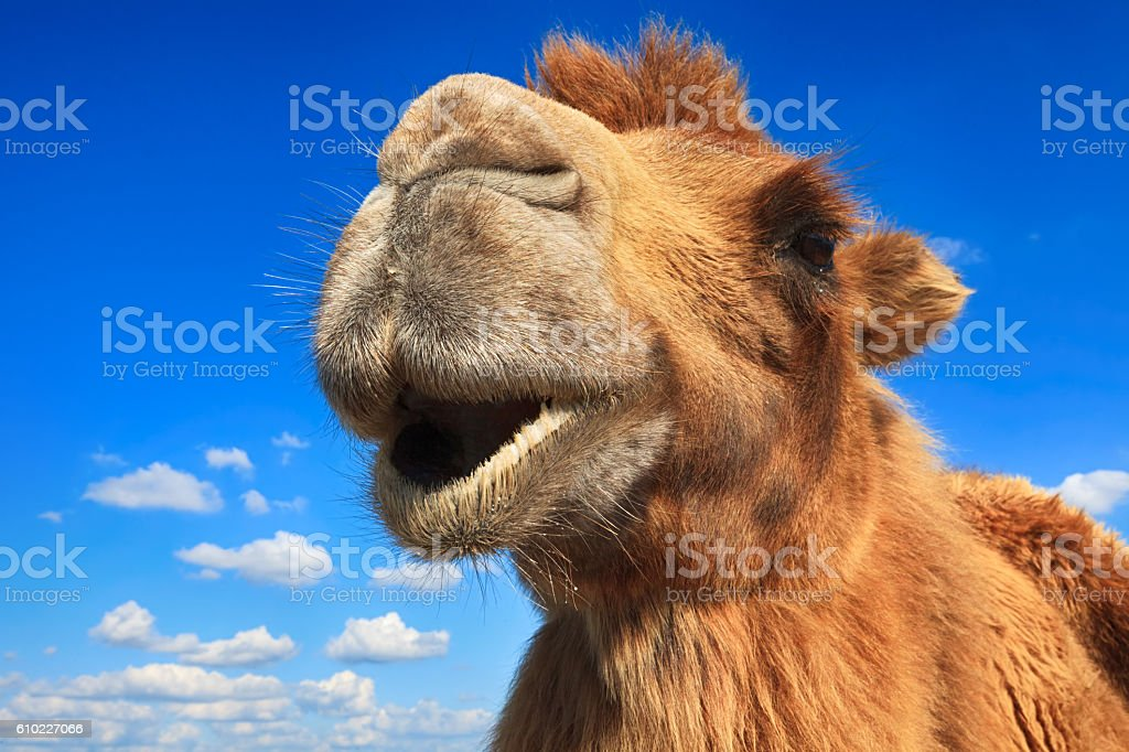 Camel head close-up stock photo
