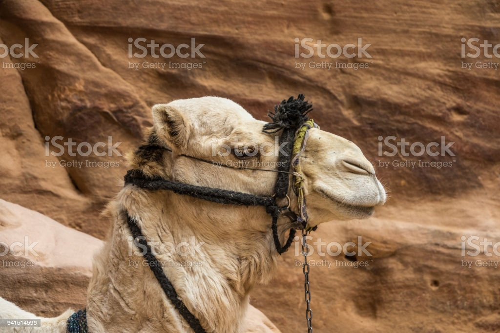 Camel head detail in Petra stock photo