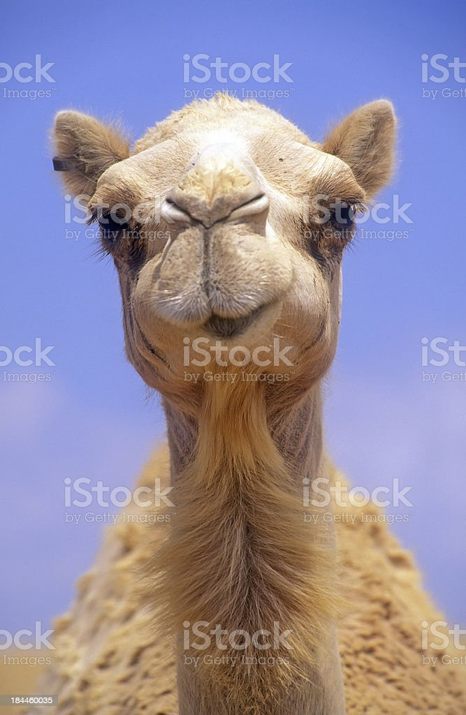 Camel head stock photo