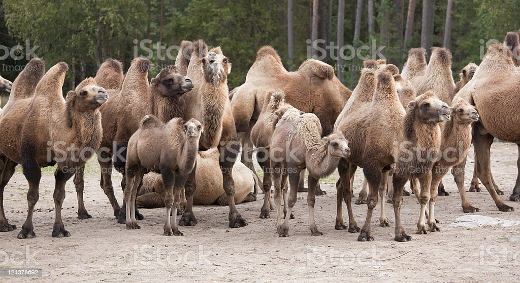 Camel herd royalty-free stock photo
