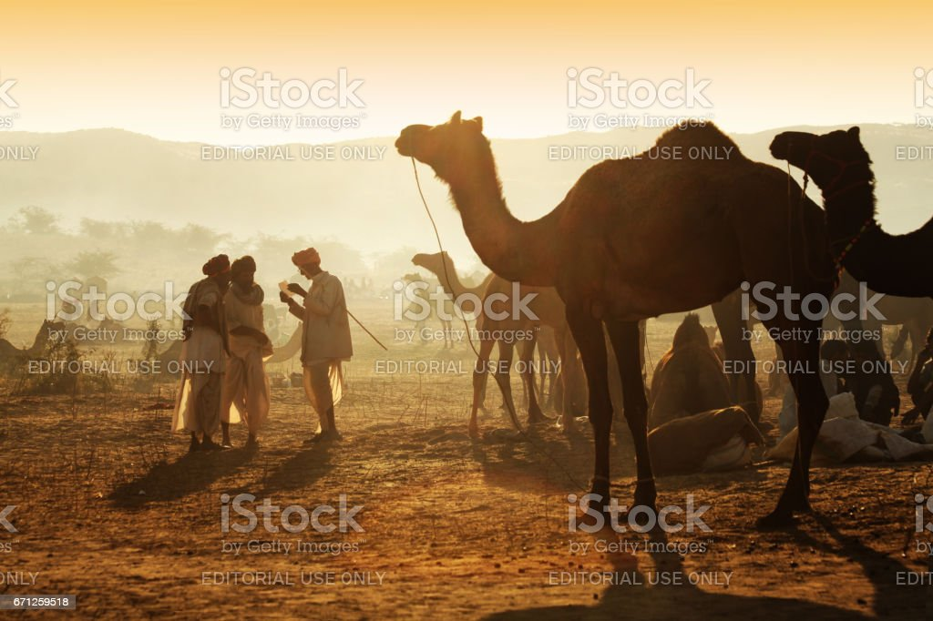 Camel herders with their herd of camels, in the backdrop of early morning sunlight, at Pushkar Camel Fair stock photo