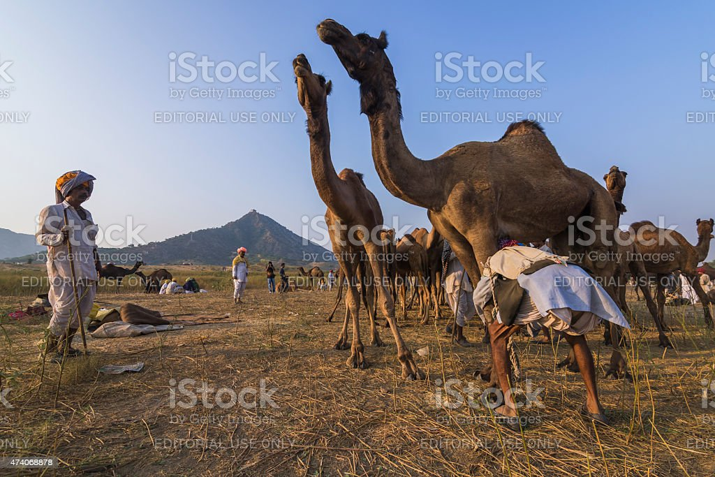 Camel Herders with their livestock during pushkar camel fair, India stock photo