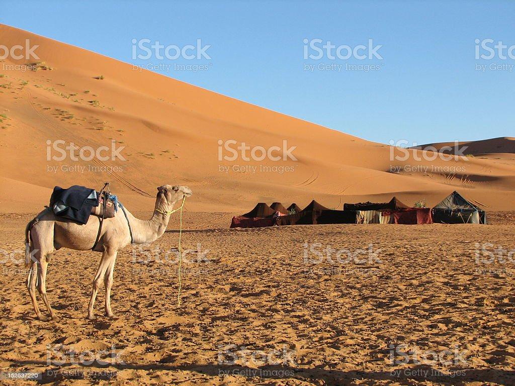 A camel in a desert scenario at daylight stock photo
