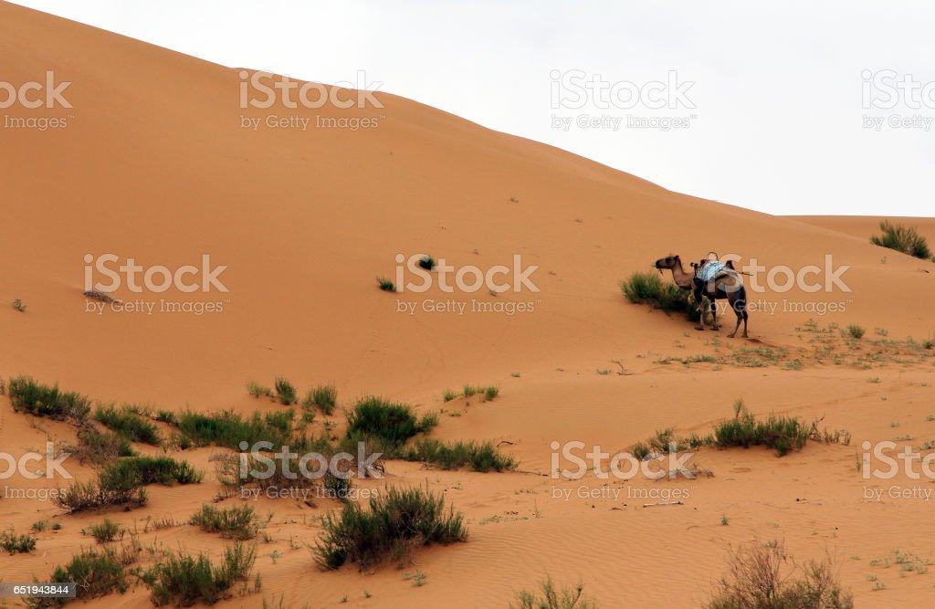 Camel in a desert, Shapotou, China stock photo