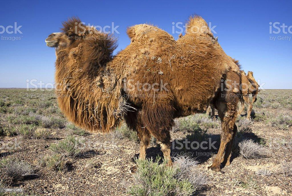Camel in desert of Kazakhstan royalty-free stock photo