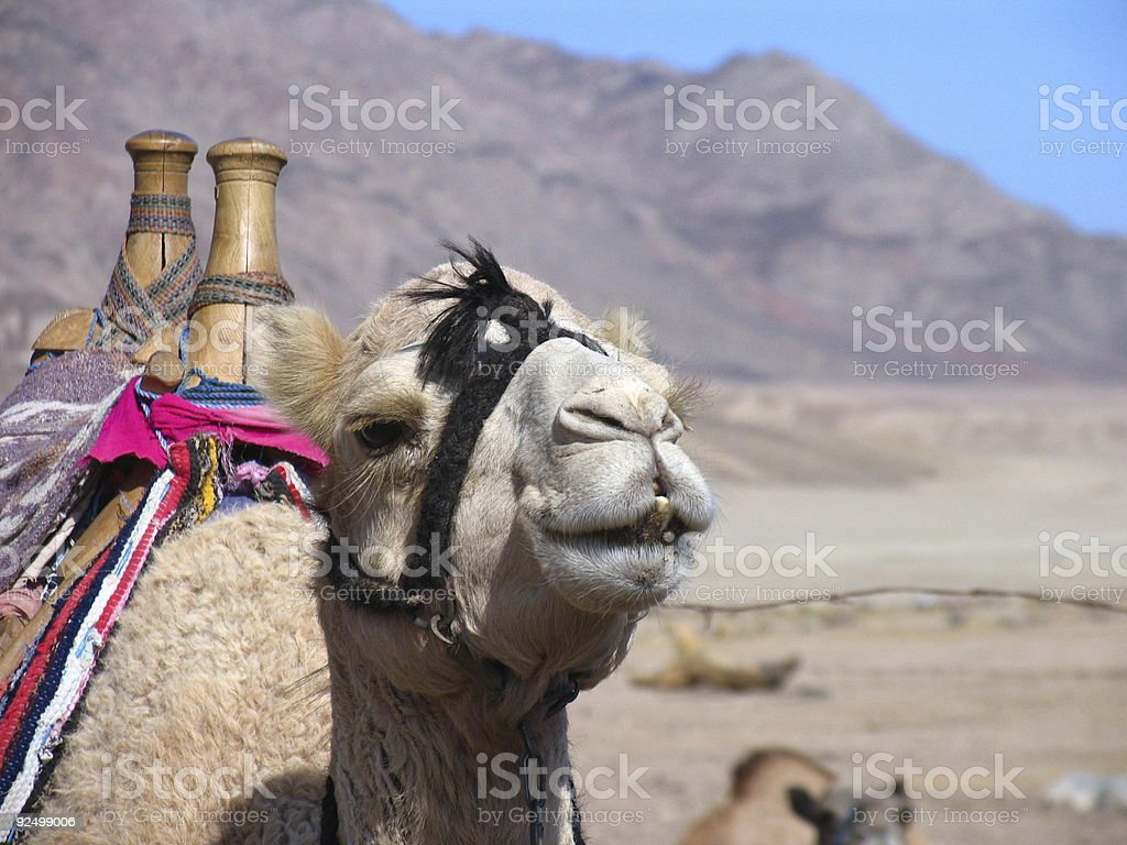 Camel in Egypt royalty-free stock photo