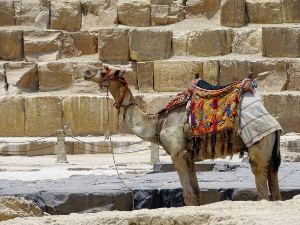 Camel in front of a pyramid stock photo