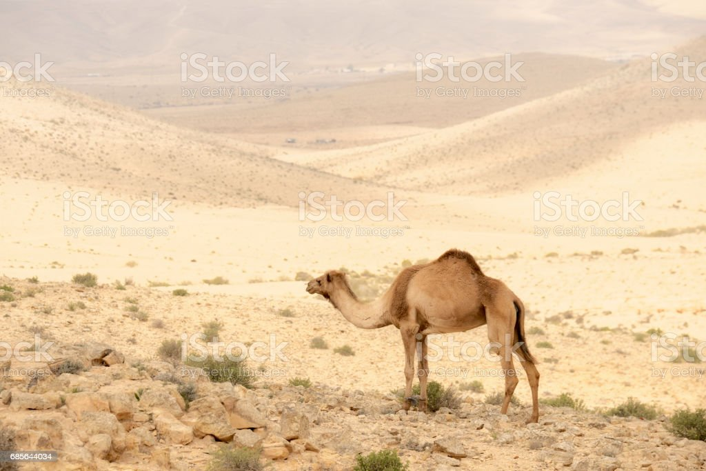 Camel in Judean desert near the Dead sea royalty-free 스톡 사진