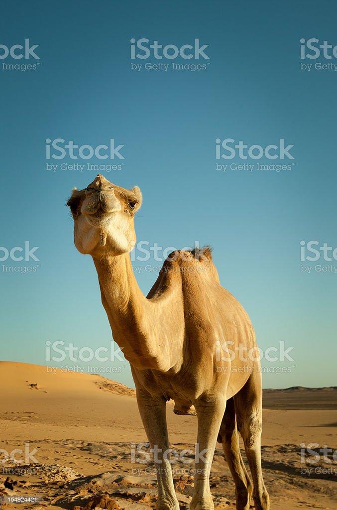 Camel in Libyan desert royalty-free stock photo