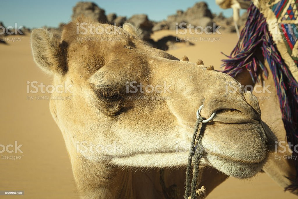 Camel in Libyan desert royalty-free stock photo