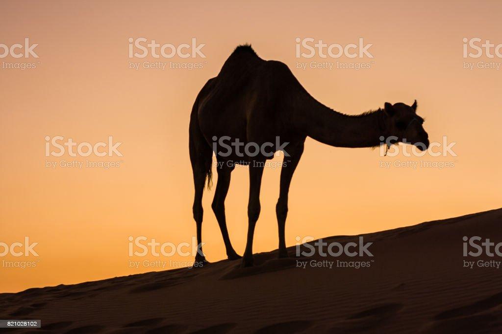 camel in liwa desert stock photo