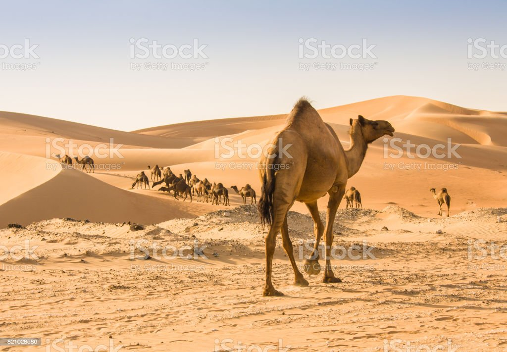 camel in liwa desert stock photo