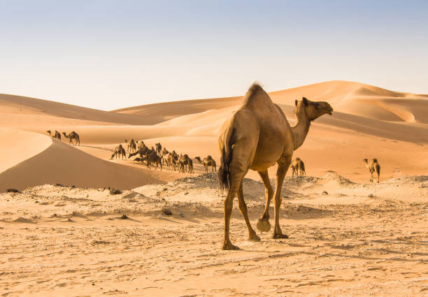 camel in liwa desert camel in liwa desert saudi arabia stock pictures, royalty-free photos & images