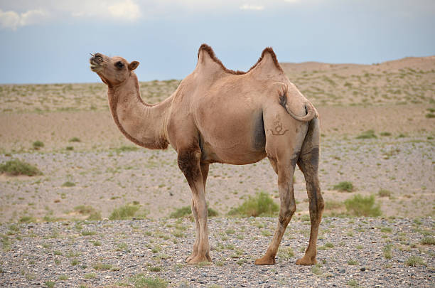 Camel in Mongolia stock photo