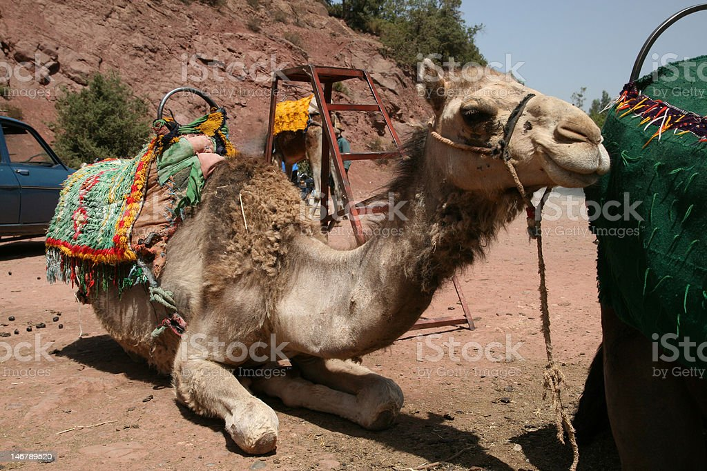 Camel in Morocco royalty-free stock photo