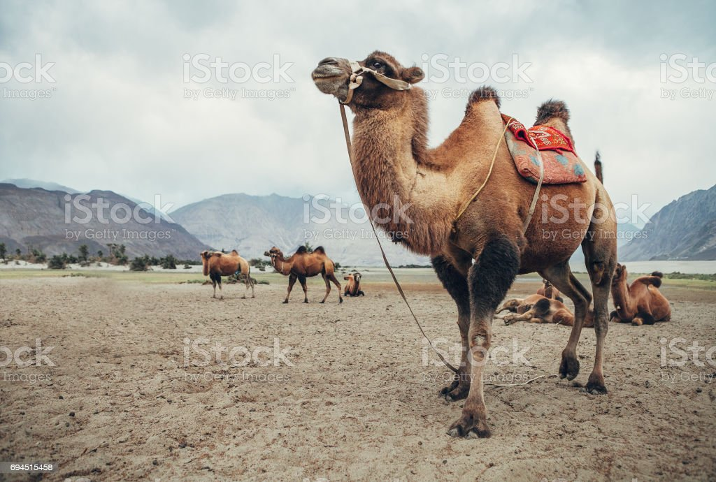 Camel in Nubra Valley desert stock photo