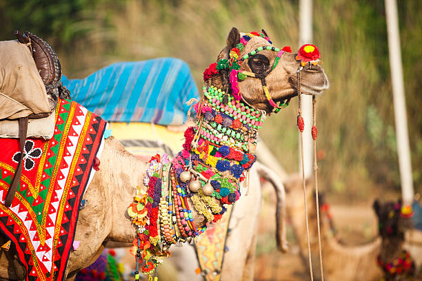 Camel in Pushkar Fair, India stock photo