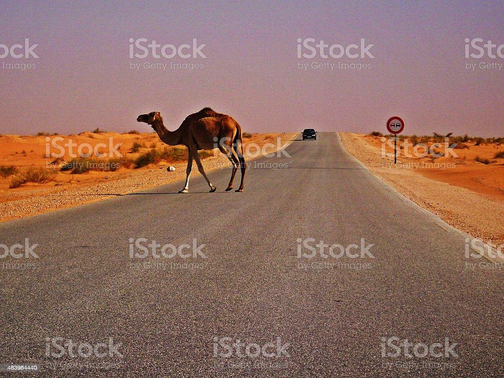 Camel in sahara desert in evening light stock photo