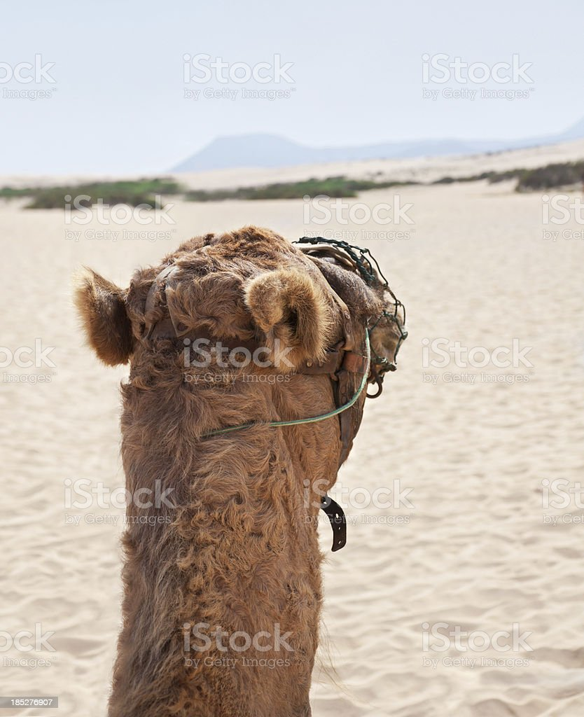 Camel in sahara desert stock photo