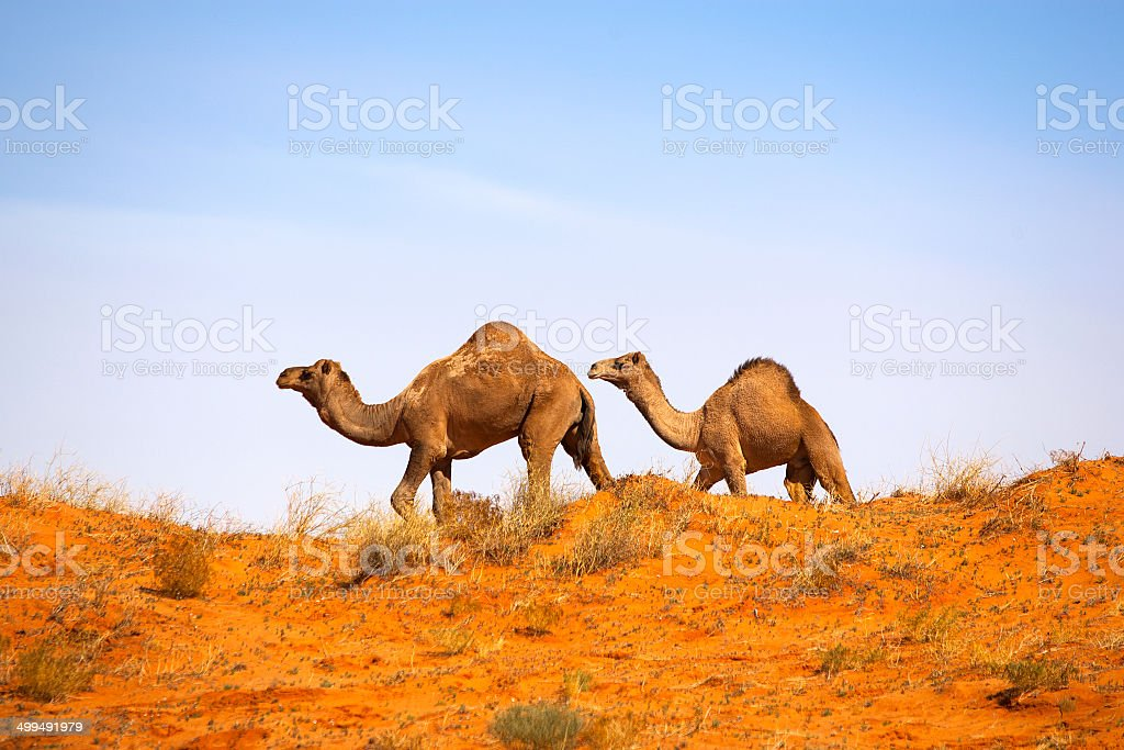 Camel in Simpson Desert, South Australia, Australia stock photo