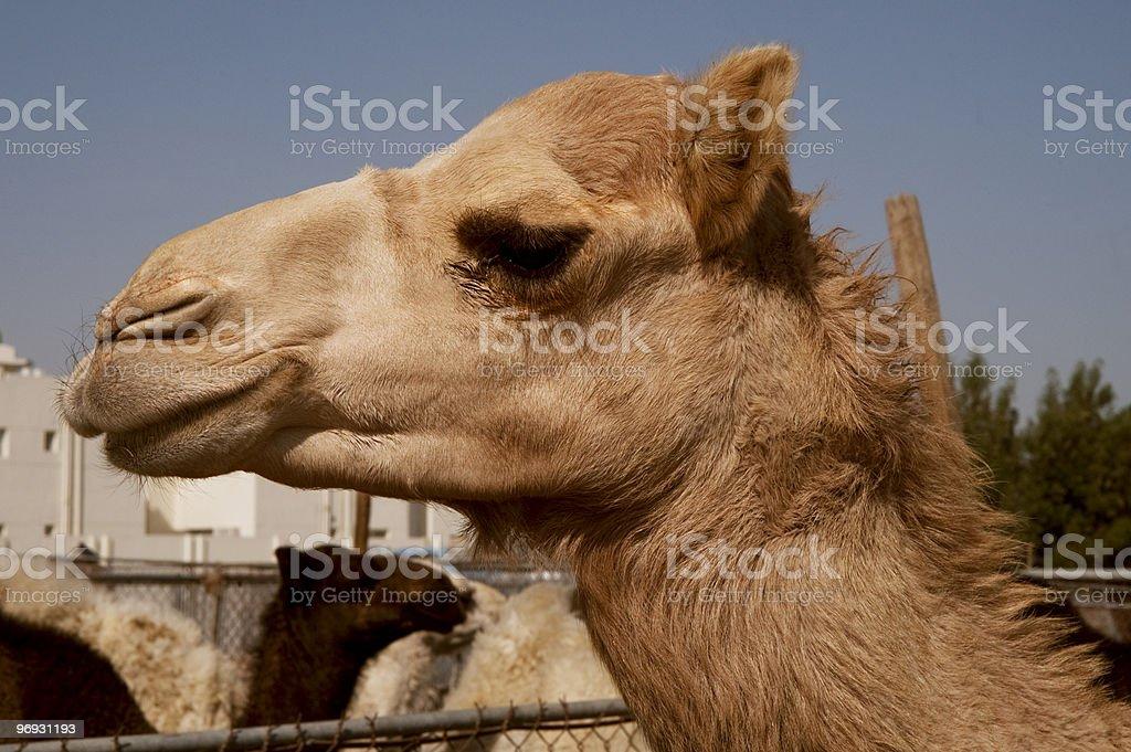 Camel in the Animals market Doha royalty-free stock photo