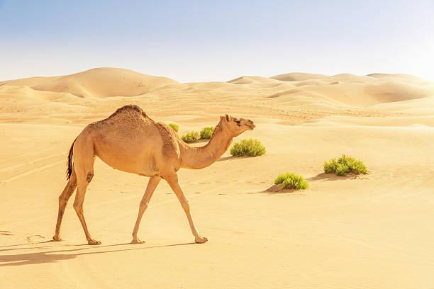 camello en las dunas del desierto - camello fotografías e imágenes de stock