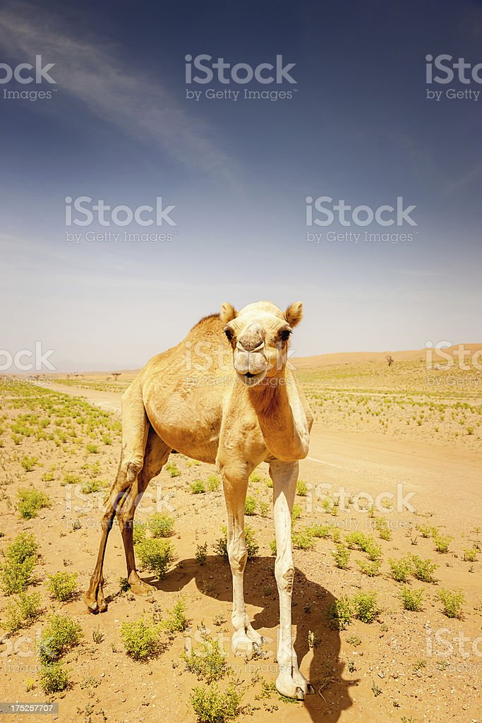 Camel in the Desert,Wild Animal Portrait royalty-free stock photo