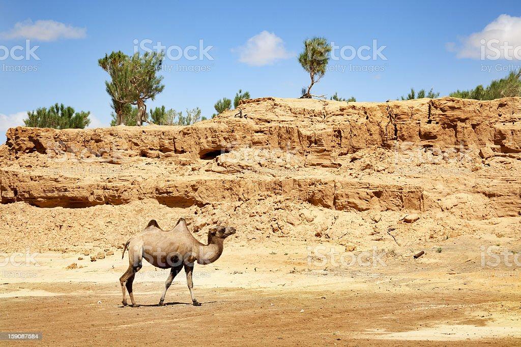 camel in the Gobi Desert royalty-free stock photo