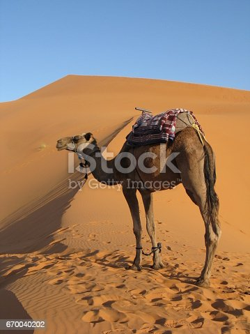 istock Camel in the middle of Sahara 670040202